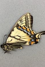 Pterourus canadensis M A1 Alberta, Canada