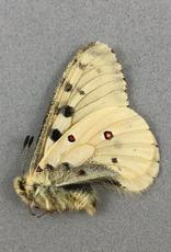 Parnassius smintheus smintheus (no red spots) M A1 Alberta, Canada