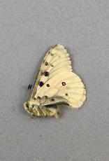 Parnassius smintheus smintheus (no red spots) M A1- Alberta, Canada