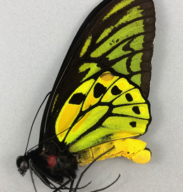 Ornithoptera croesus croesus M A1 Bacan Island, Indonesia