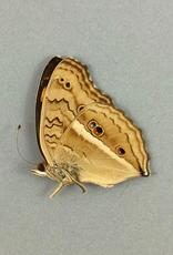Junonia (Precis) almana ssp? M A1 Marinduque, Philippines