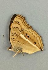 Junonia (Precis) almana ssp? M A1/A1- Indonesia