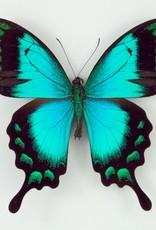Papilio lorquinianus albertisi M A1- Indonesia