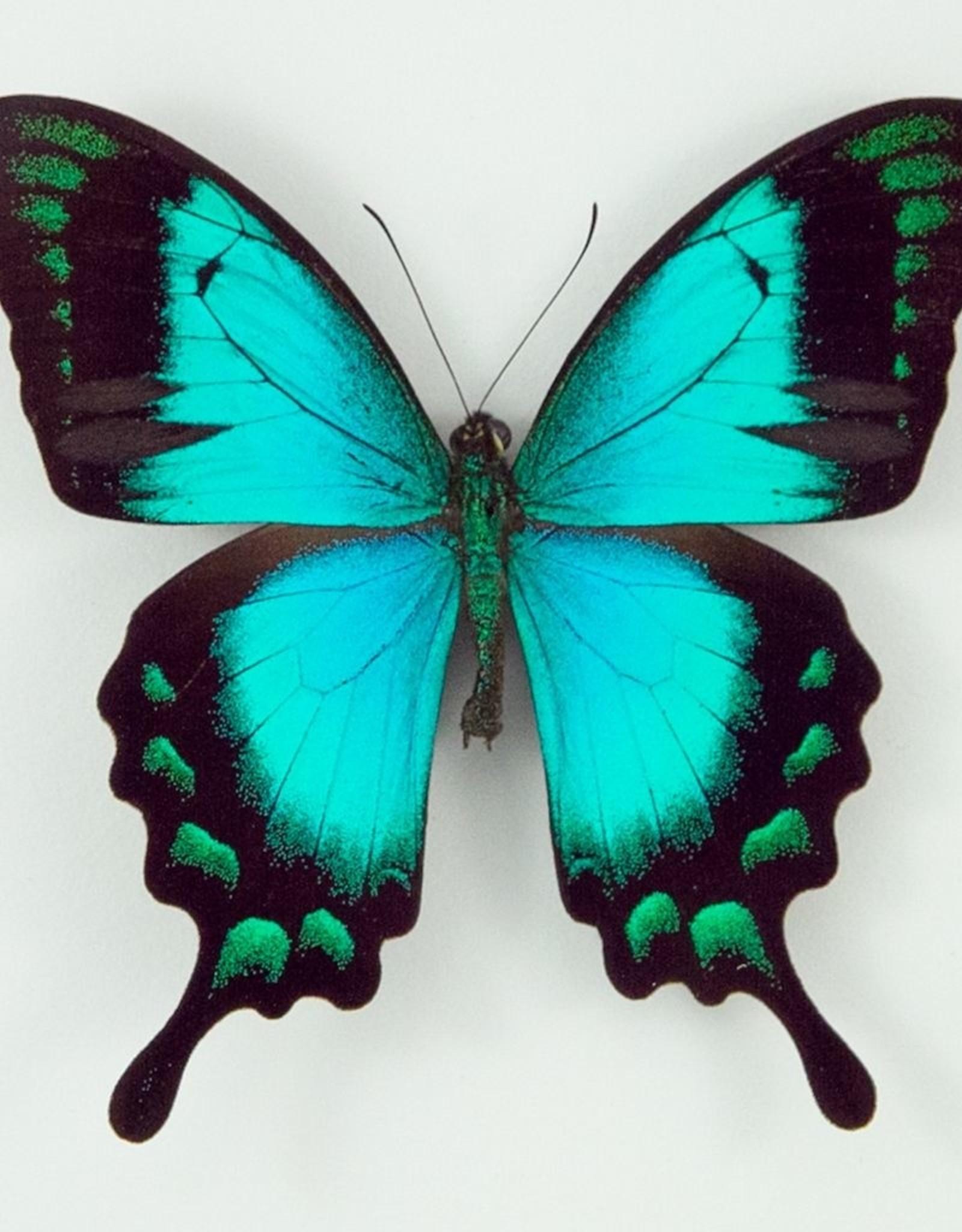 Papilio lorquinianus albertisi M A2 Indonesia
