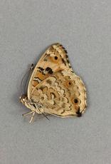 Junonia (Precis) orithya leucasia M A1 Marinduque, Philippines