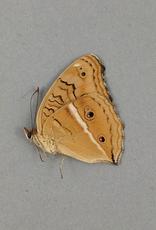 Junonia (Precis) almana ssp? M A1 Mindoro Island, Philippines
