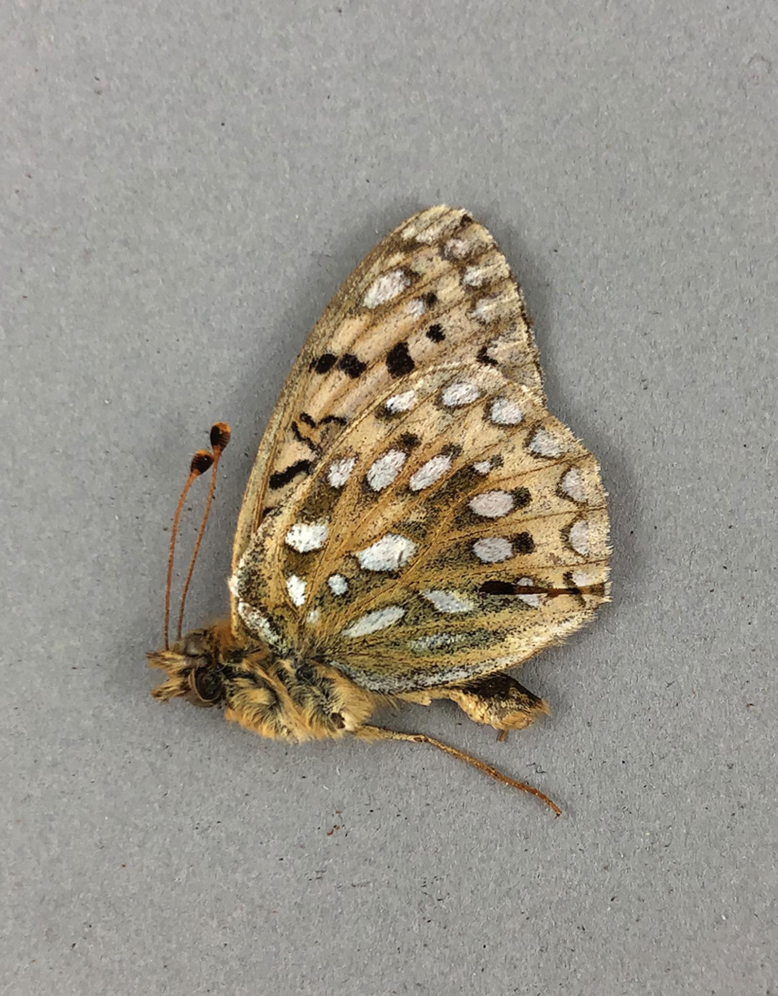 Speyeria mormonia ssp? M A1 AB, Canada