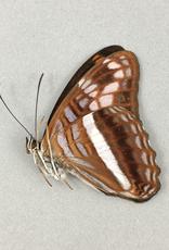 Adelpha sichaeus M A1 Caranavi, Bolivia