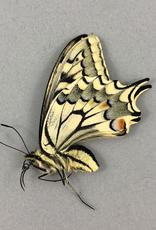 Papilio machaon syriacus F A2 Atiz, Armenia