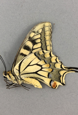 Papilio machaon syriacus M A2 Atiz, Armenia