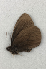Erebia magdalena saxicola M A1- Alberta, Canada