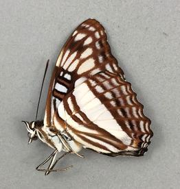 Adelpha erotia f. lerna M A1 Caranavi, Bolivia