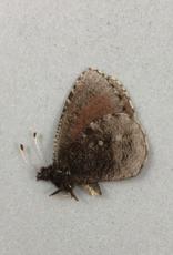 Erebia discoidalis mcdunnoughi M A1 AB, Canada