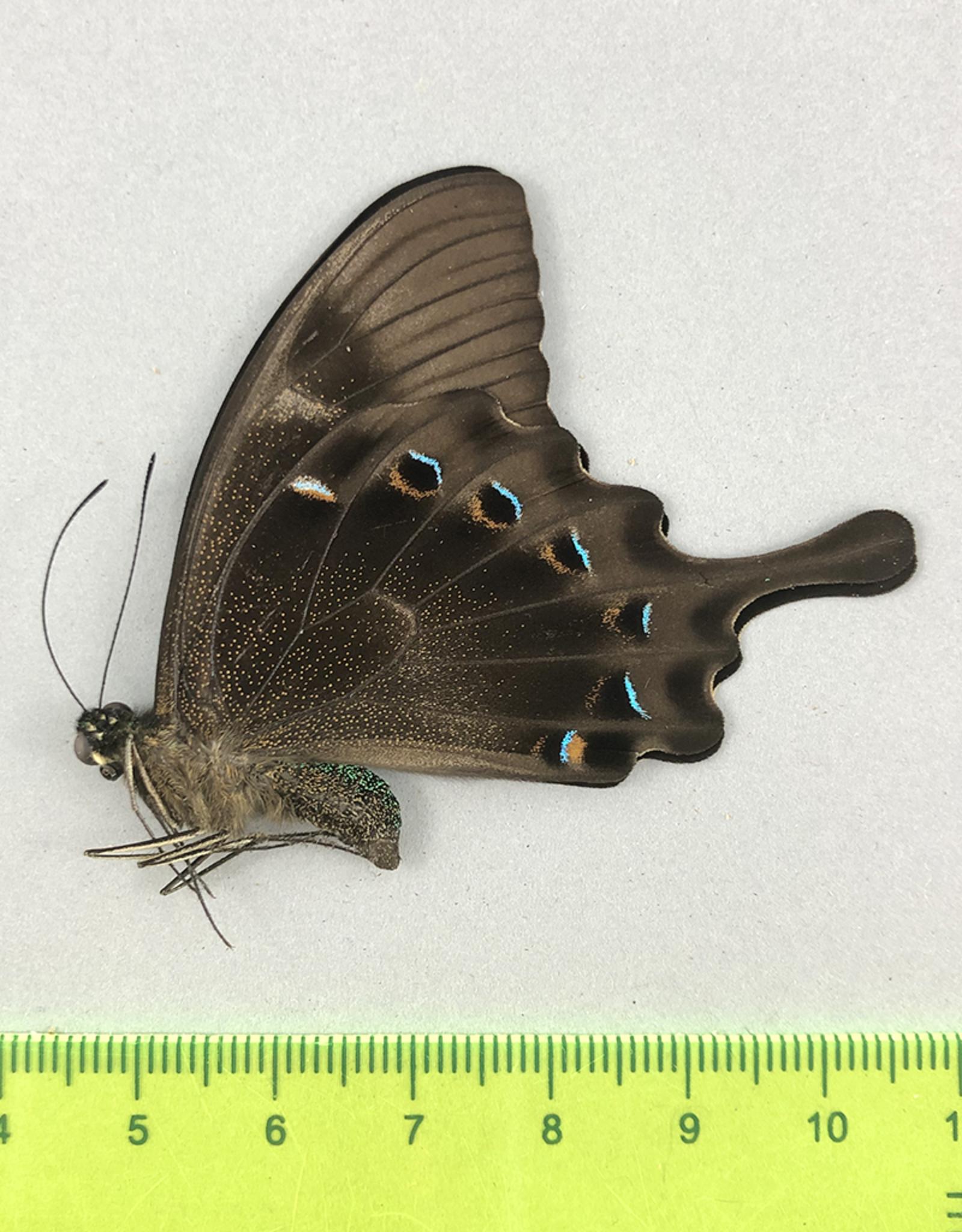 Papilio lorquinianus albertisi M A1/A1- Indonesia