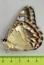 Parthenos sylvia pherekides M A1 Timika, Indonesia