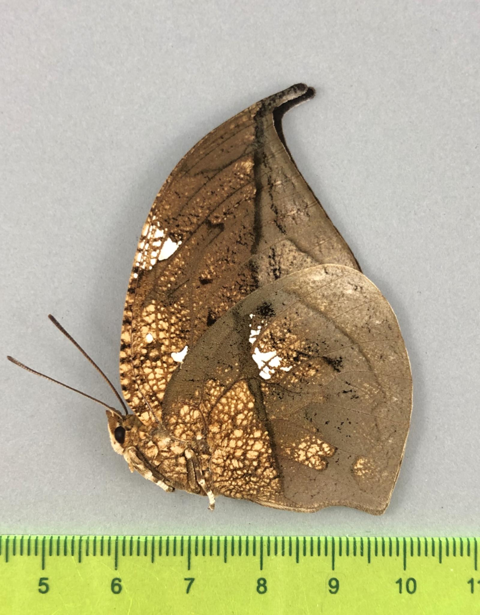 Anaea archidona M A1 Satipo, Peru