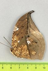 Anaea archidona M A1/A1- Satipo, Peru