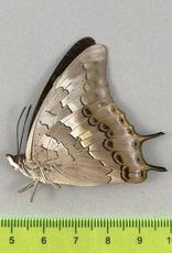 Charaxes solon ssp.? M A1- Mindanao, Philippines