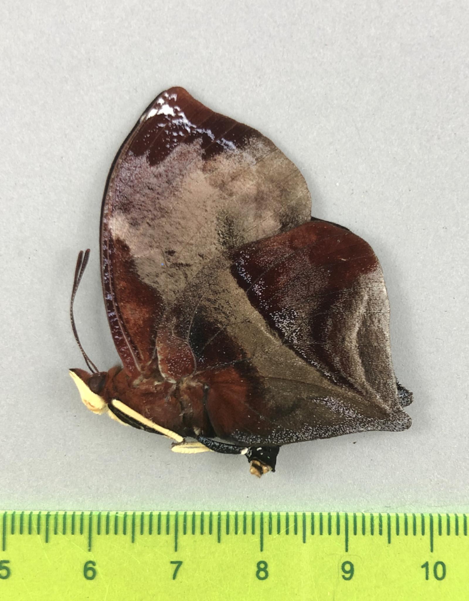 Siderone galanthis M A1 Satipo, Peru