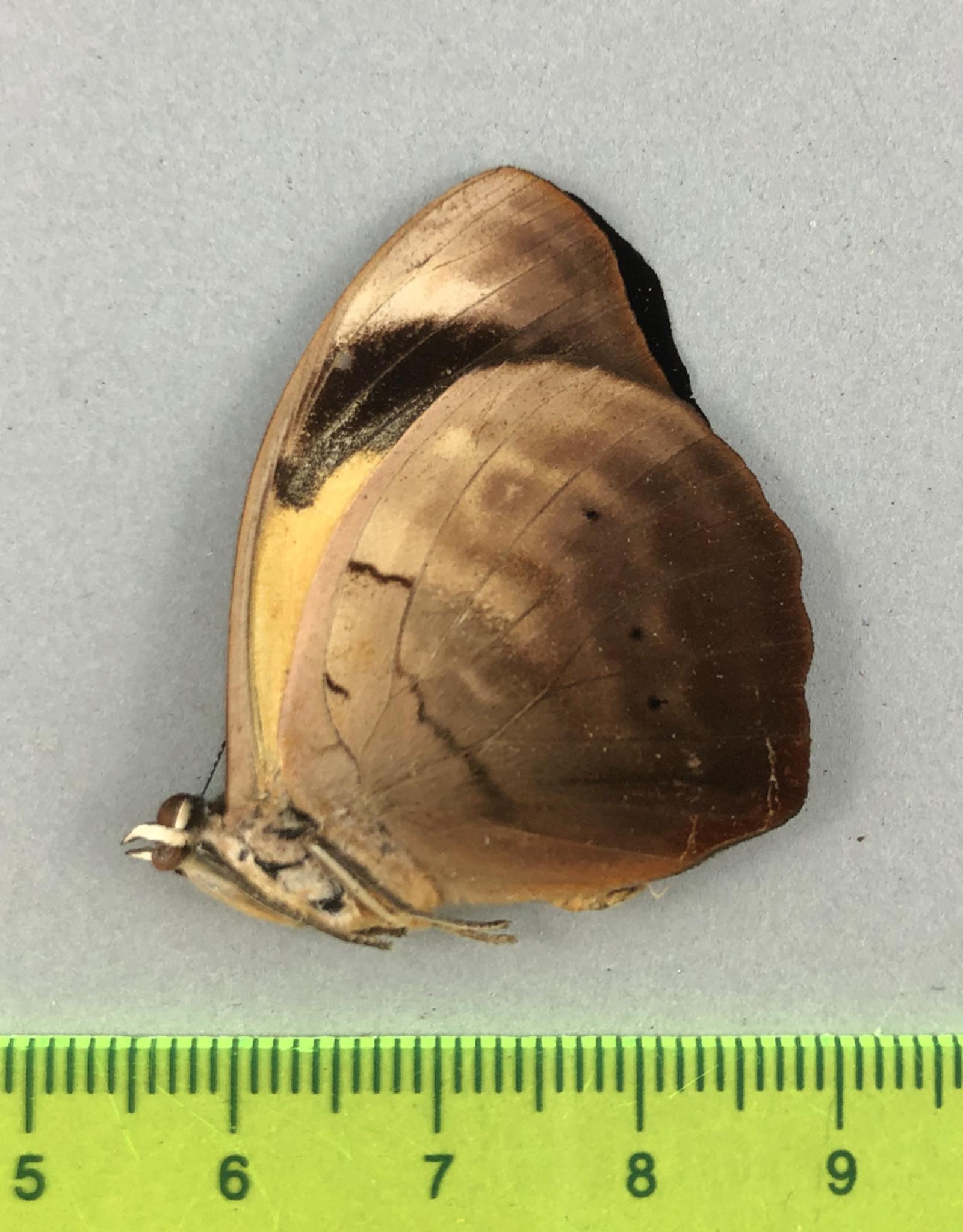 Catonephele numilia M A1 UHV, Peru