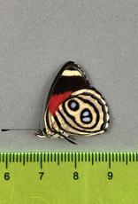 Callicore hystaspes f. hystaspes M A1 Peru