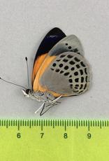 Asterope hewitsoni hewitsoni M A1/A1- UHV, Peru