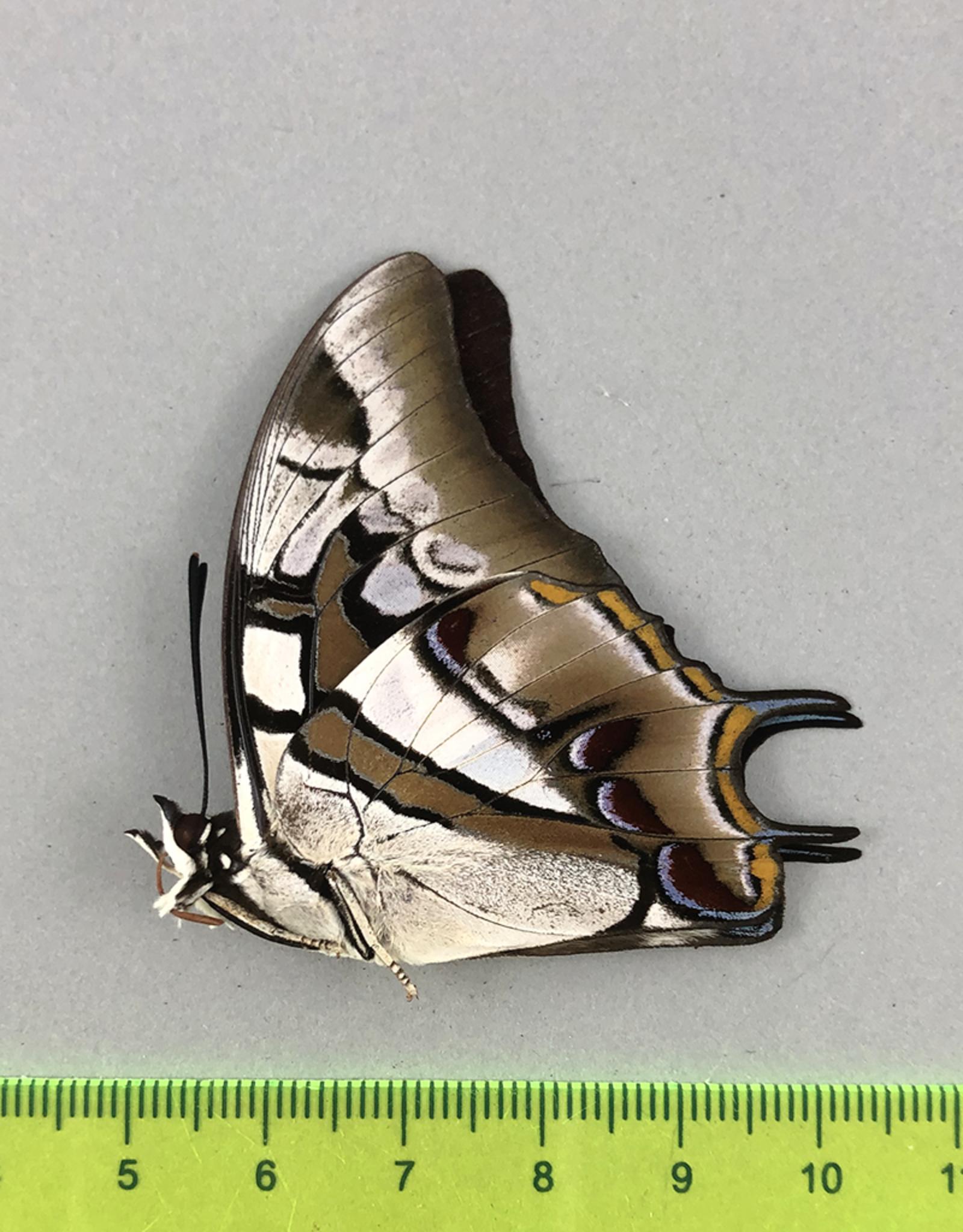 Polyura cognatus M A1 Sulawesi, Indonesia