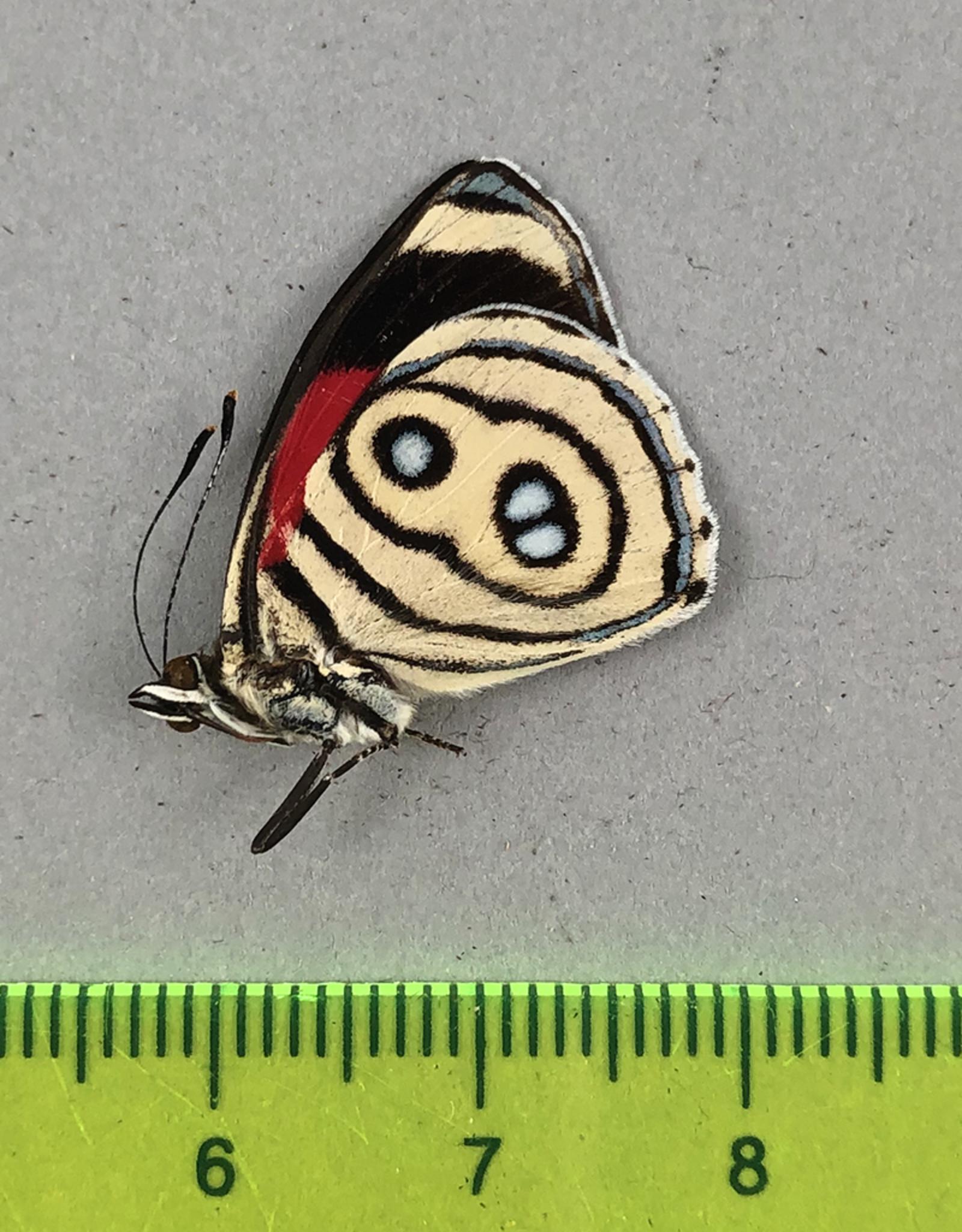 Callicore discrepans M A1/A1- Dep San Martin, N. Peru