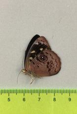 Eunica orphise M A1 UHV, Peru