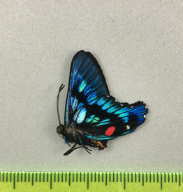 Ancyluris endaemon M A1 UHV, Peru