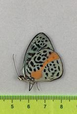 Eunica chlorochroa chlorochroa M A1 Peru