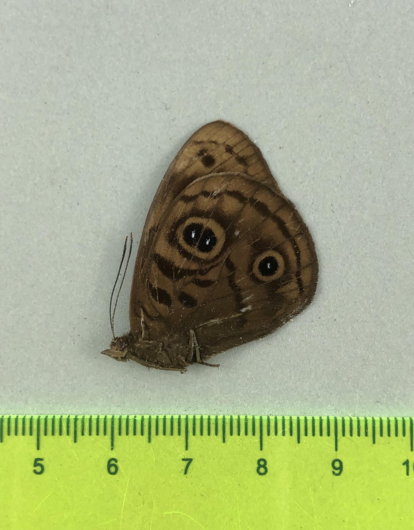 Eunica eurota eurota M A1 UHV, Peru