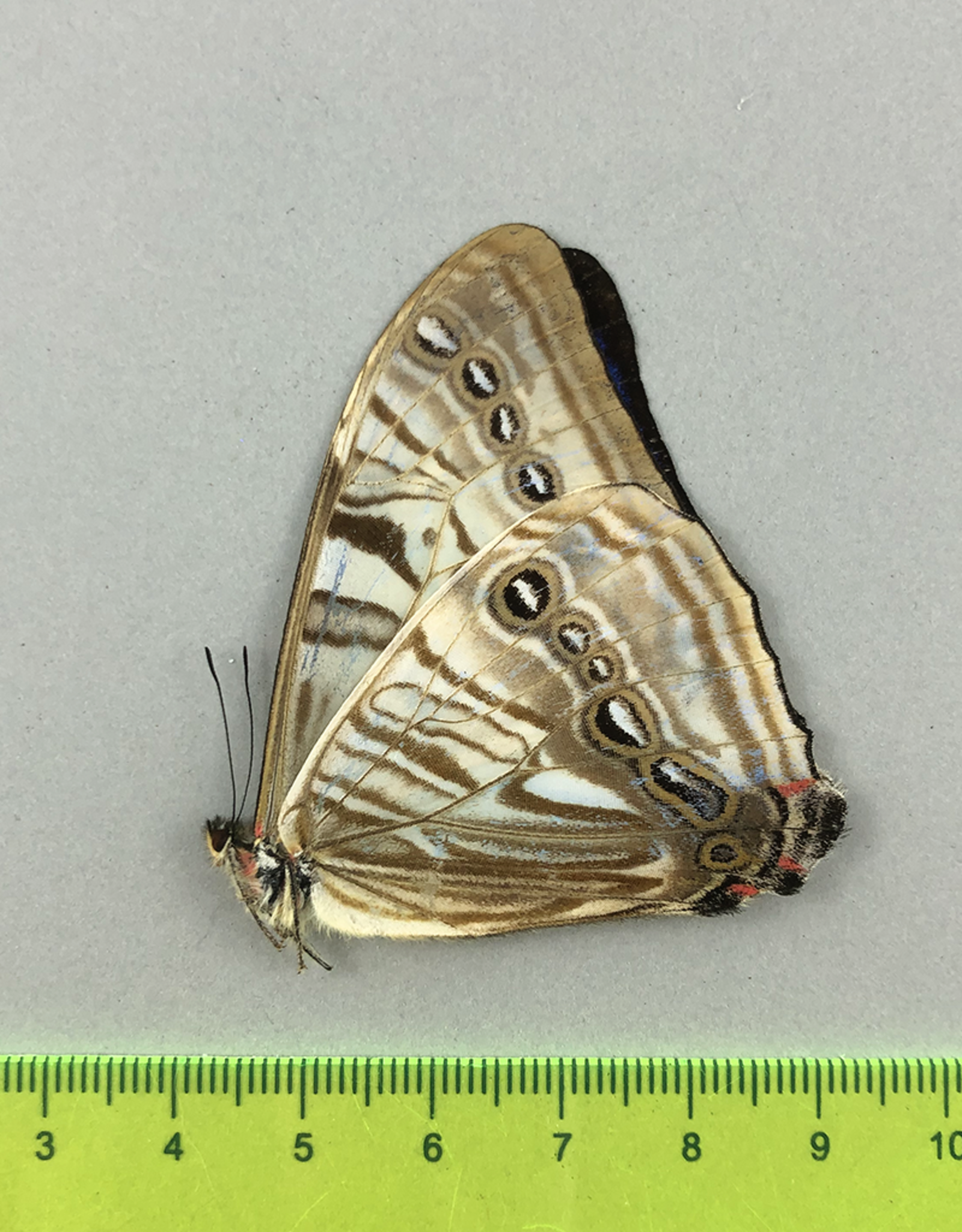Morpho sulkowskyi descimokoenigi M A1/A1- Cuzco, Peru
