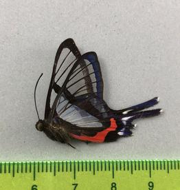 Chorinea sylphina M A1 UHV, Peru