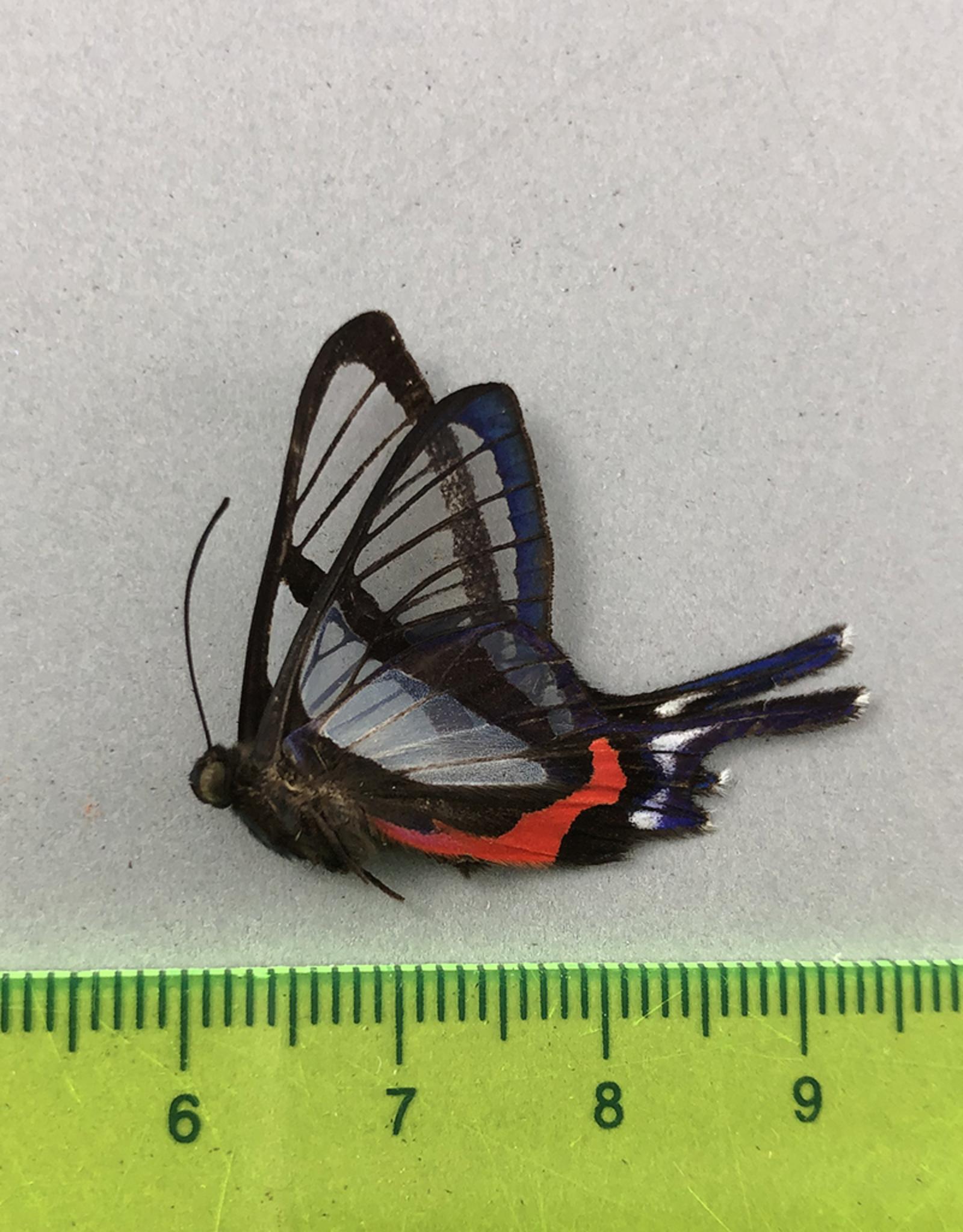 Chorinea sylphina M A1/A1- UHV, Peru