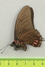Eurytides xynias xynias M A1 Peru