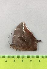 Fountainea (Anaea) titan peralta M A1 Peru
