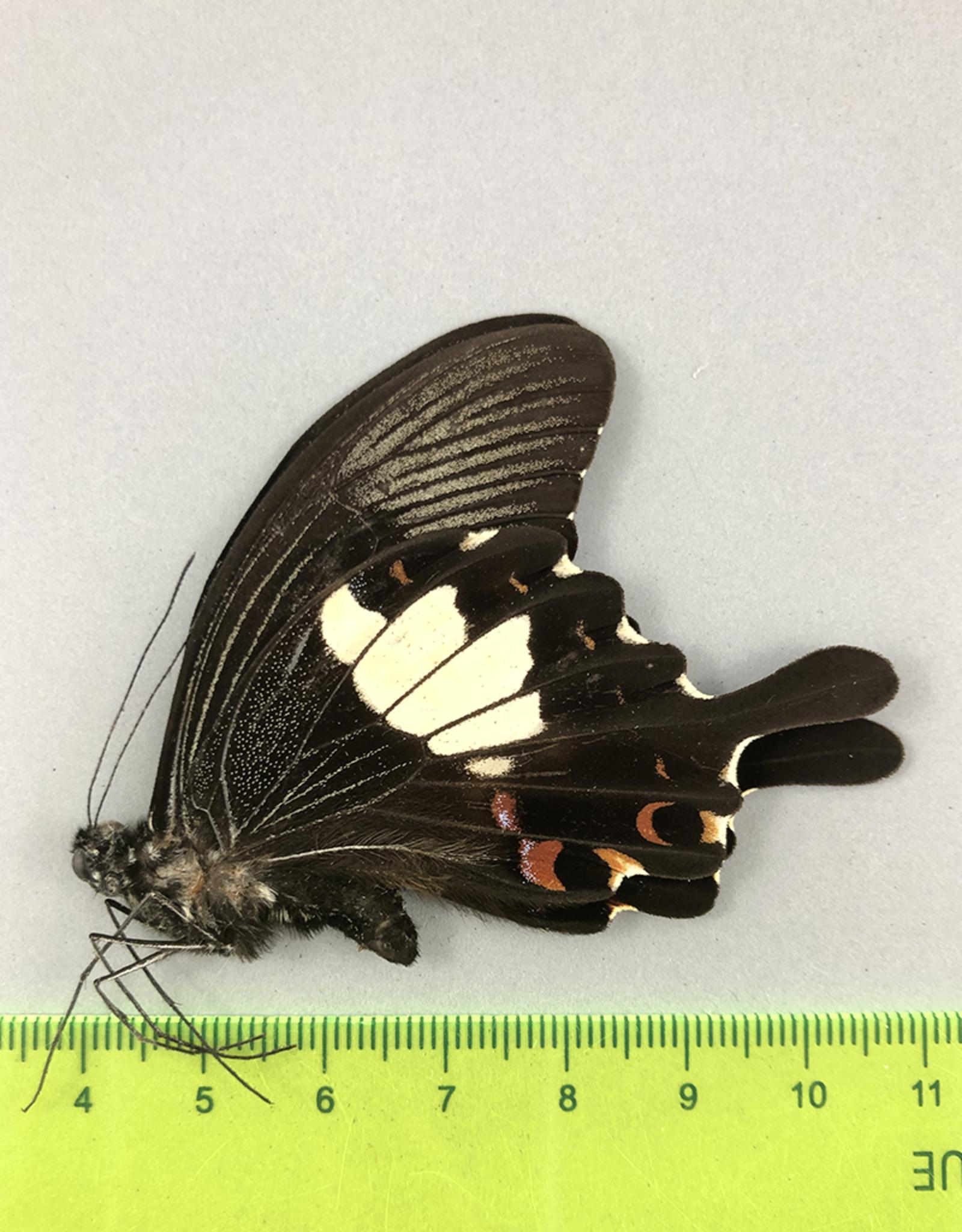 Papilio helenus hystaspes M A1 Mindanao, Philippines