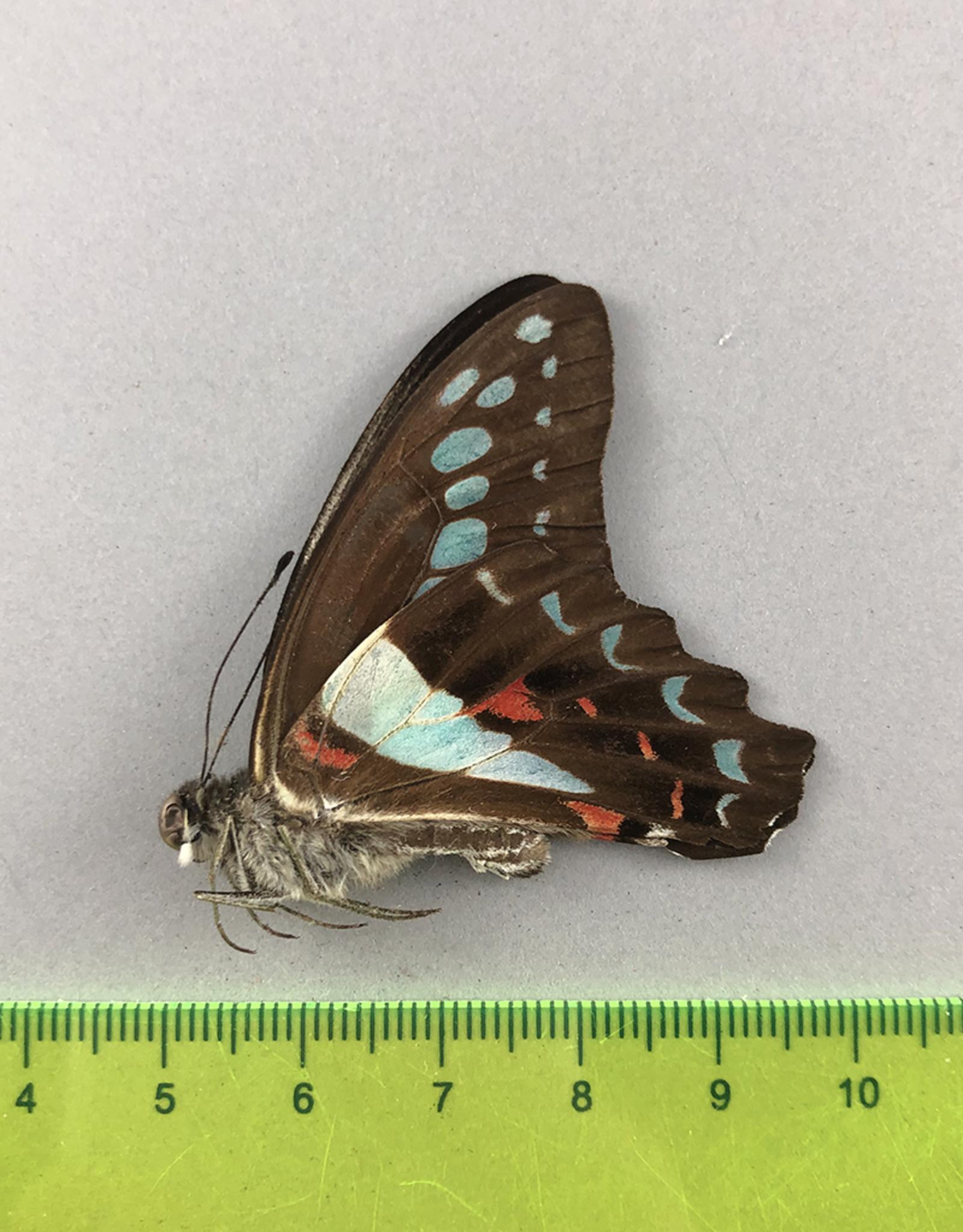 Papilio sarpedon messogis M A1- South Bougainville, Papua New Guinea