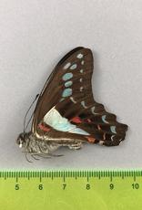 Papilio sarpedon messogis M A1/A1- South Bougainville, Papua New Guinea