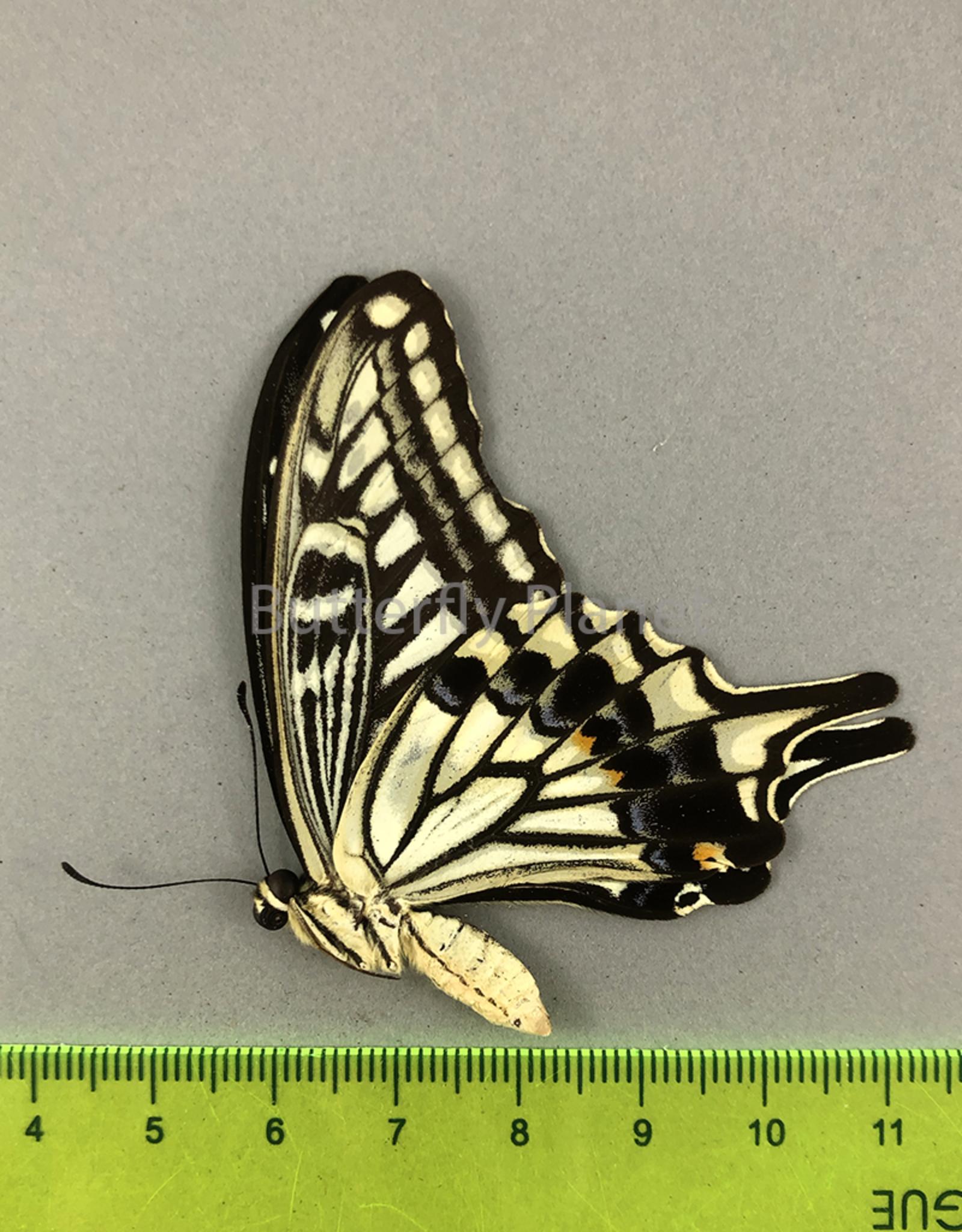 Papilio xuthus ssp? M A1 Szechuan/Sichuan, China