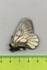 Parnassius stubbendorfii koreanus M A1 South Korea