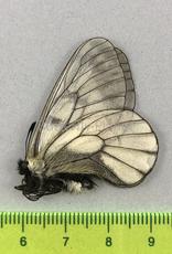 Parnassius stubbendorfii koreanus M A1/A1- South Korea
