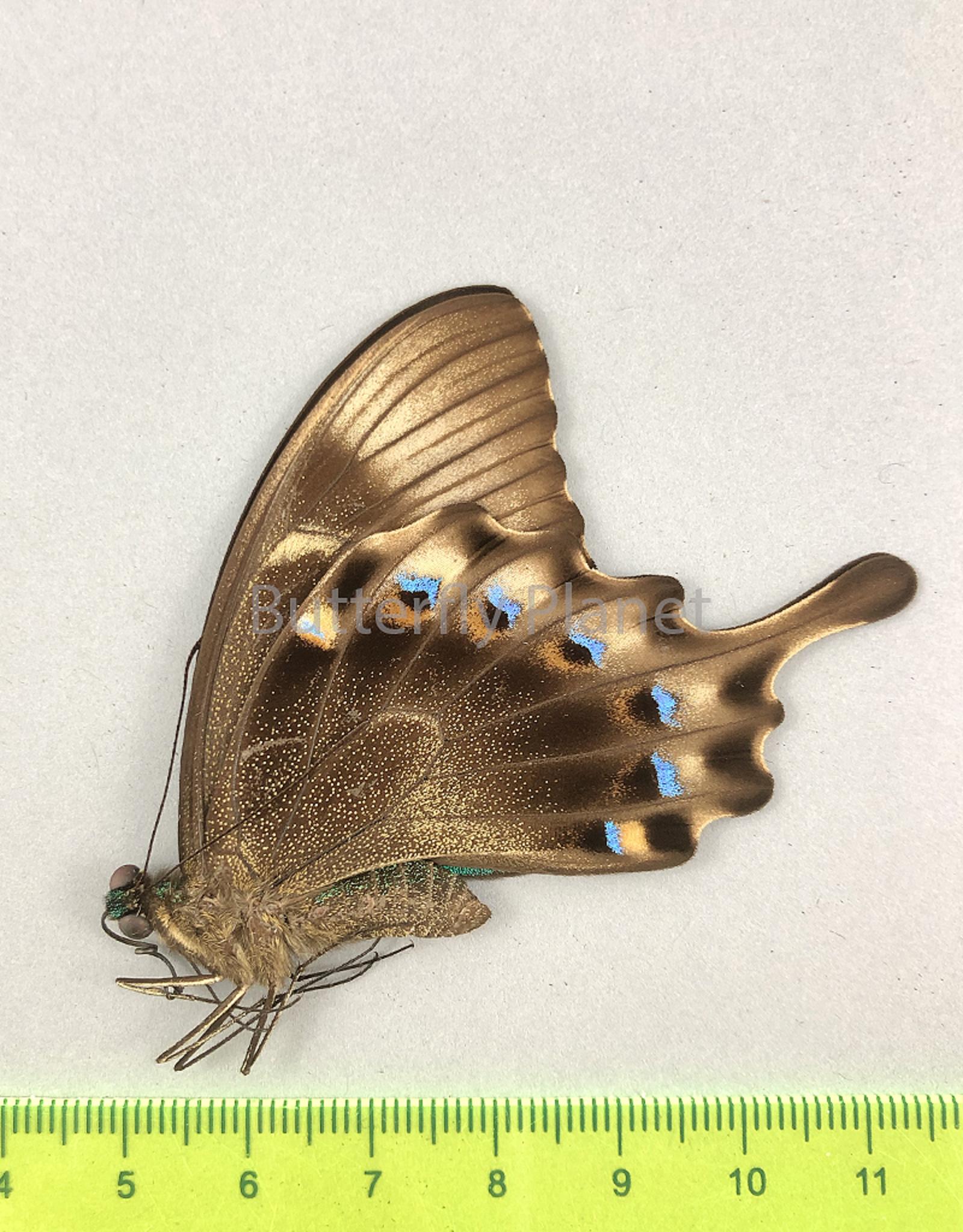 Papilio lorquinianus gelia M A1 Bachan, Isl., Indonesia