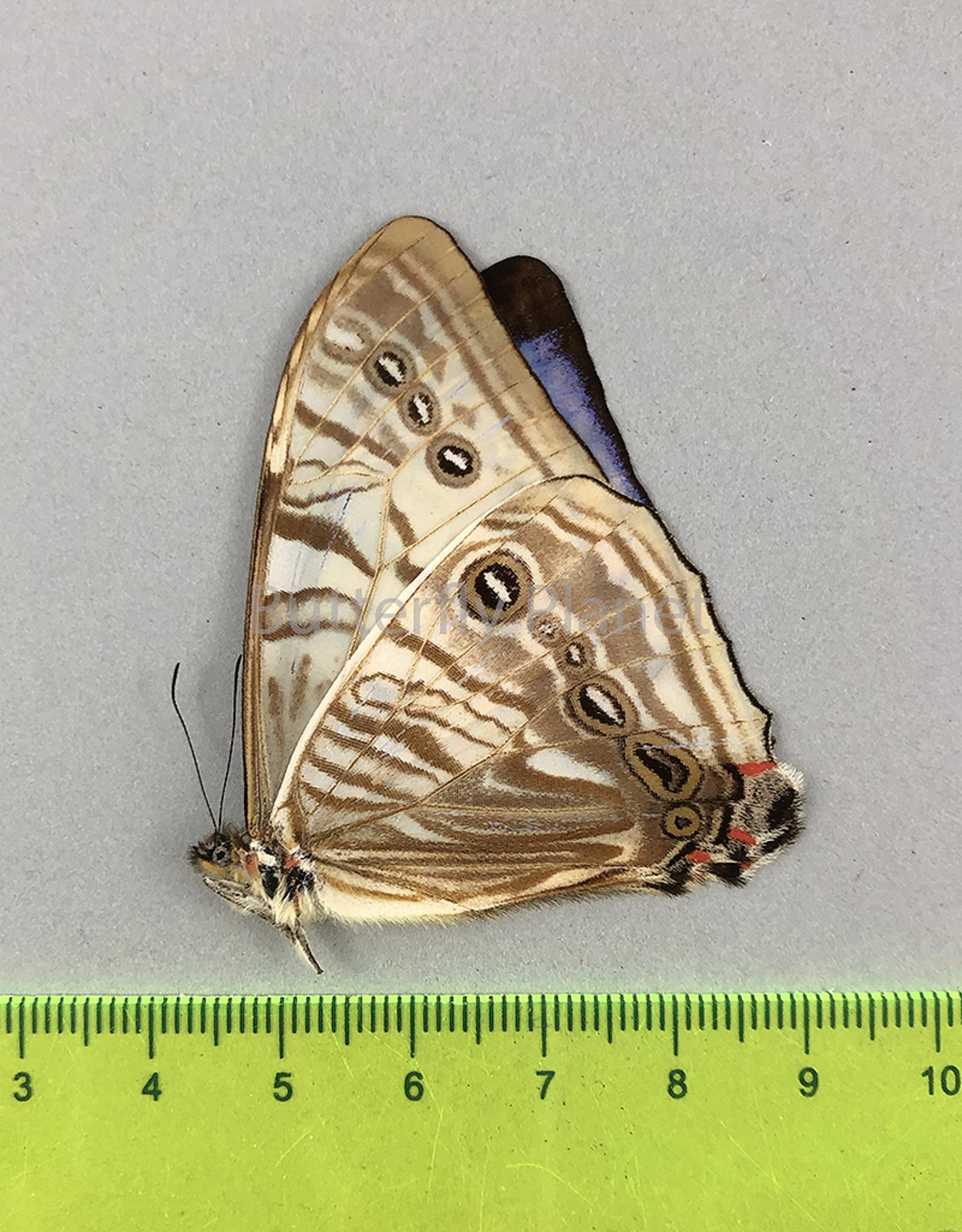 Morpho sulkowskyi descimokoenigi M A1 Peru