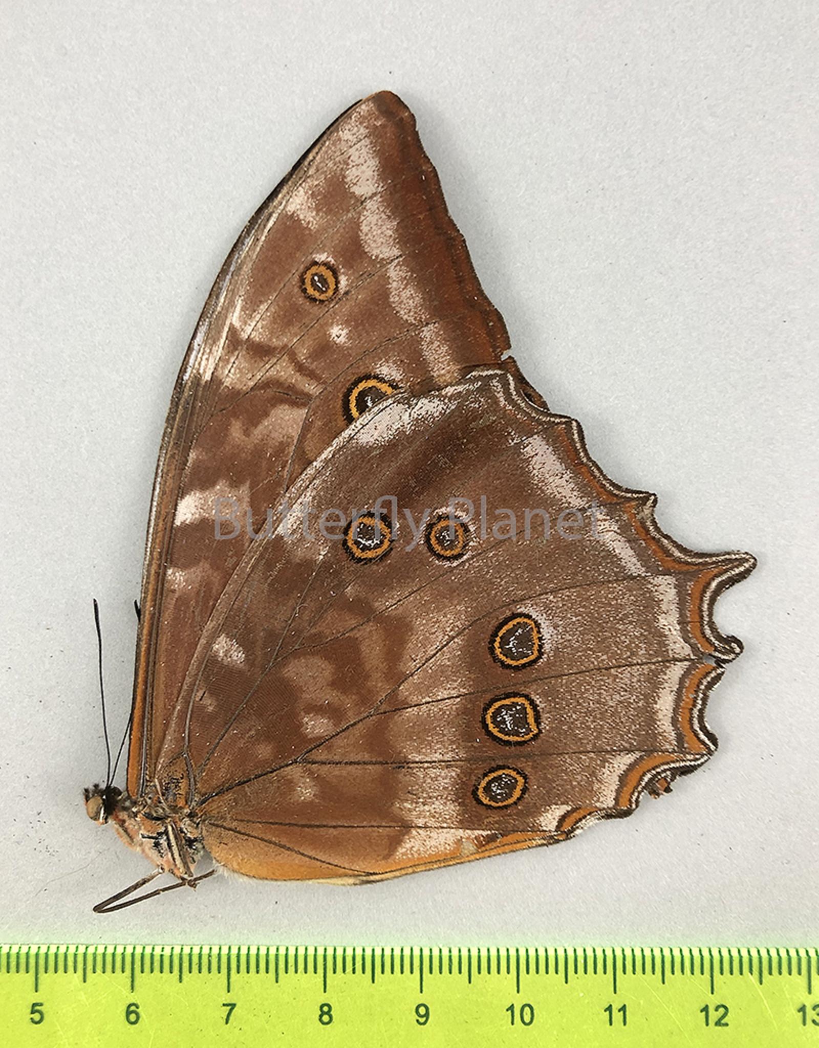 Morpho theseus juturna M A2 UHV, Peru