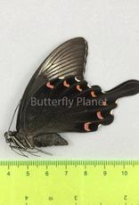 Papilio bianor coreanus M A1- South Korea