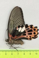 Papilio taiwanus F A1 Taiwan