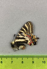 Leuhdorfia puziloi lingjangensis M A1 Liaoning Prov., China
