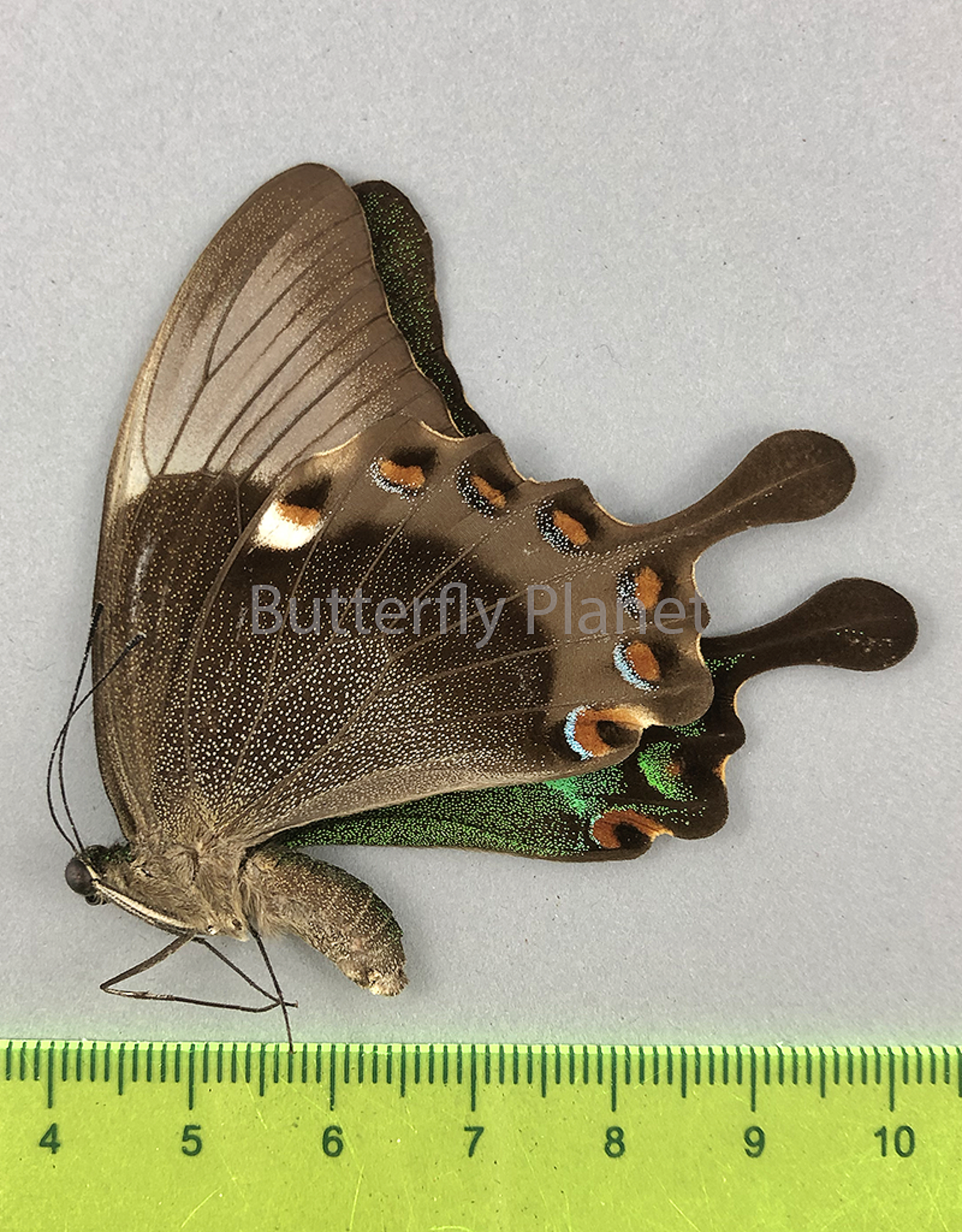 Papilio palinurus daedalus F A1 Marinduque, Phillipines